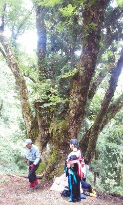 杤の巨木を見に行きました