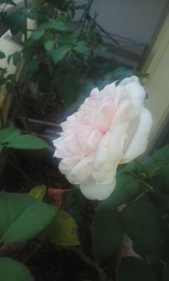 和バラ様8月の花