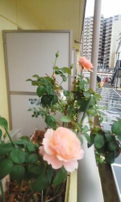 更に和バラ様開花