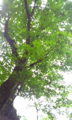 トチの巨木に会った