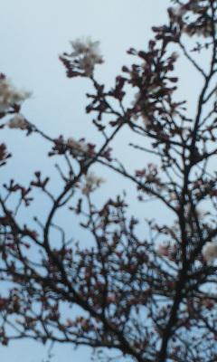 桜咲き初め