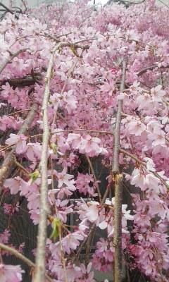 垂れ桜、ソメイヨシノ、スミレ