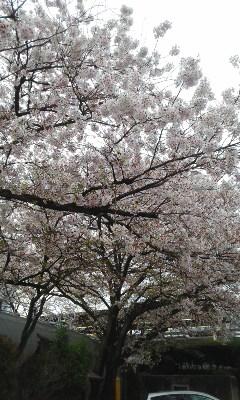 4月朝市のお酒選び 「初桜」