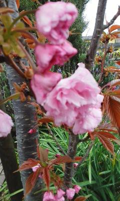 八重桜の季節到来