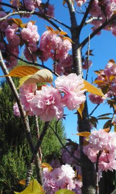 八重桜見頃