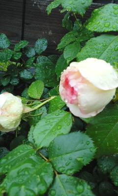 バラとシャクナゲ