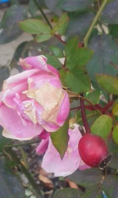 真冬のバラ