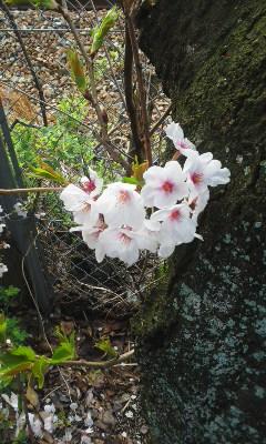 今朝の桜とルピナスさん