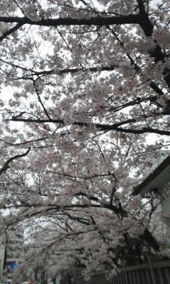 天孫神社の桜