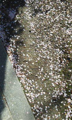 しろもこと散りゆく桜