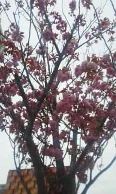八重桜の季節