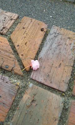 八重桜の終わる頃