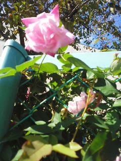 晩秋のバラ