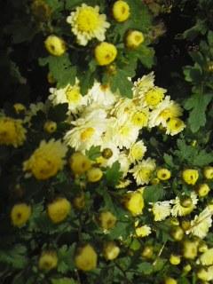 秋晴れと菊とカウントダウン
