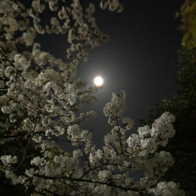 桜咲く朝と夜