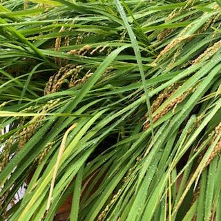 風に倒れた稲、幸屋の蕎麦定食