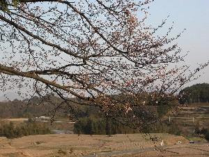 2005-4-9-sakura