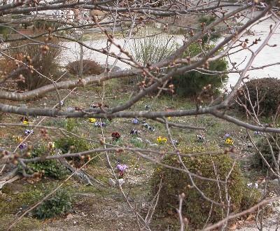 2006-3-21-sakura