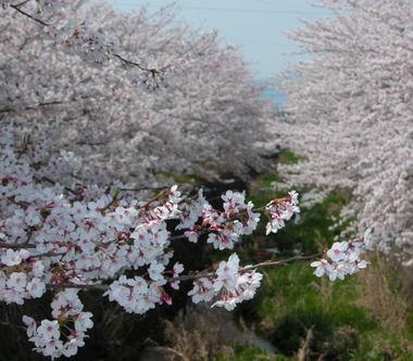 200846sakura1